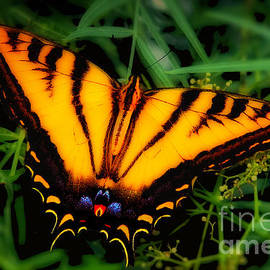 Jerry Cowart - Yellow Orange Tiger Swallowtail Butterfly