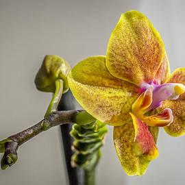 F Leblanc - Yellow Orchid