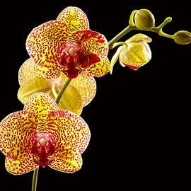 Jean Noren - Yellow Orchid