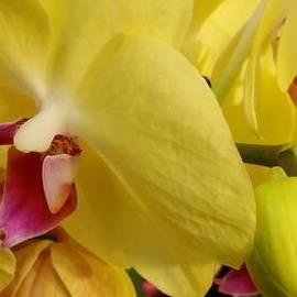 Susan Sadoury - Yellow Orchid