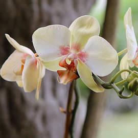 Lorraine Baum - Yellow Orchids
