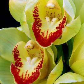 Nancy Mueller - Yellow Orchids