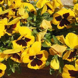 Esther Newman-Cohen - Yellow Pansies Ease the Heart