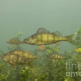 Engbretson Underwater Photography - Yellow Perch School