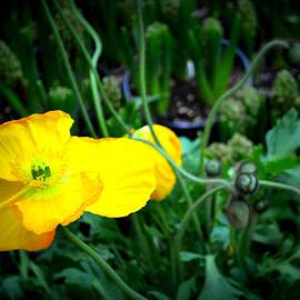 Katy Hawk - Yellow Poppy XL Format Floral Photography