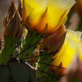 Saija  Lehtonen - Yellow Prickly Pear Blossoms