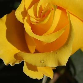 Linda Brody - Yellow Rose Macro