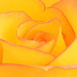 Silvie Gunawan - Yellow Rose