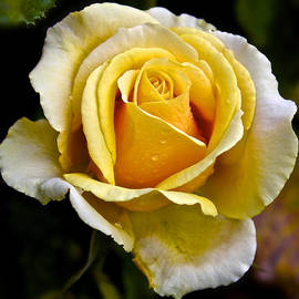 Venetia Featherstone-Witty - Yellow Rose With Dewdrops