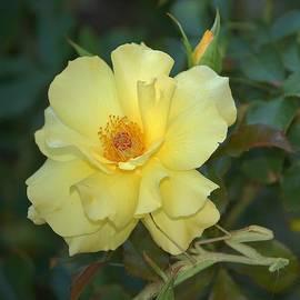 Linda Brody - Yellow Rose with Praying Mantis