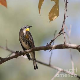 Bob and Jan Shriner - Yellow-rumped Warbler