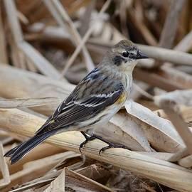 Debra Martz - Yellow-rumped Warbler