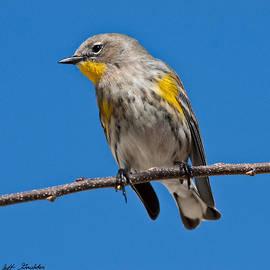 Jeff Goulden - Yellow-Rumped Warbler