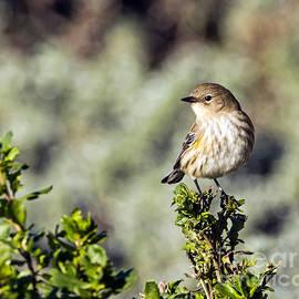 Kate Brown - Yellow-rumped Warbler