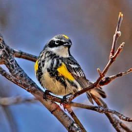 Larry Trupp - Yellow-Rumped Warbler