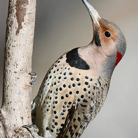 Jack Nevitt - Yellow Shafted Flicker Vertical