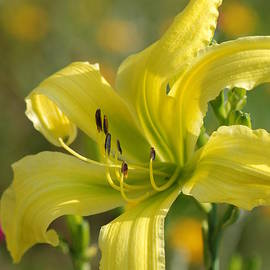 Amy Porter - Yellow Spider Daylily