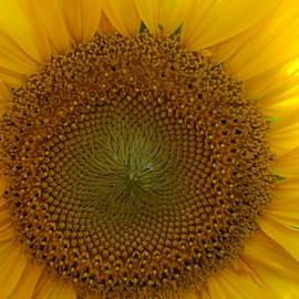 Rob Luzier - Yellow sunflower.