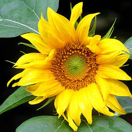 Trina  Ansel - Yellow Sunflower