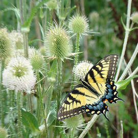 Phyllis Taylor - Yellow Swallowtail Butterfly