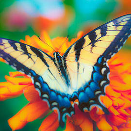 Steve Stephenson - Yellow Swallowtail Butterfly