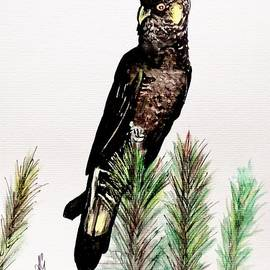 Anne Gardner - Yellow tailed black cockatoo
