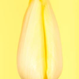 Mark Monckton - Yellow Tulip