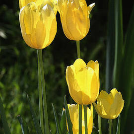 Tom Janca - Yellow Tulips At The Arboretum