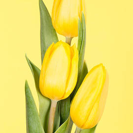 Mark Monckton - Yellow Tulips