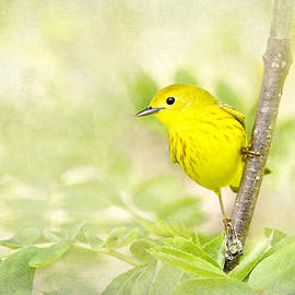 Renee Dawson - Yellow Warbler Art