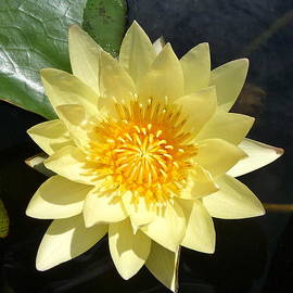 Kenneth Summers - yellow water Lilly flower