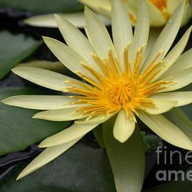 DejaVu Designs - Yellow Water Lily