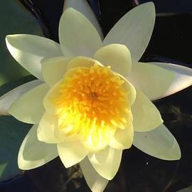 Pema Hou - Yellow Water Lily