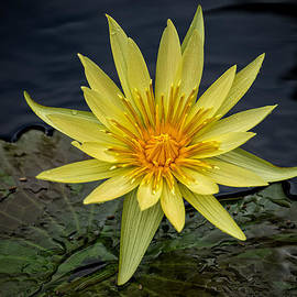 Phil Abrams - Yellow Water Lily