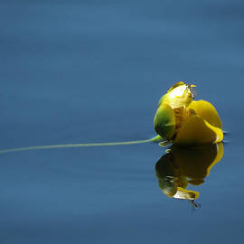 Patti Deters - Yellow Waterlily - Resting Place
