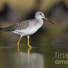 Bryan Keil - Yellowlegs