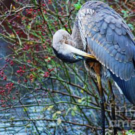 Paul Ward - Young Blue Heron Preening