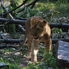 Jake Danishevsky - Young Lion Cub