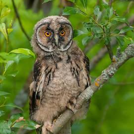 Janne Mankinen - Young Long-eared owl