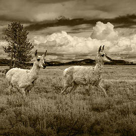 Randall Nyhof - Young Pronghorn Antelopes in Sepia