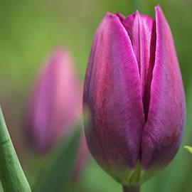 Rona Black - Young Purple Tulips
