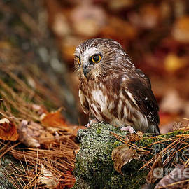 Inspired Nature Photography By Shelley Myke - Young Saw Whet Owl Nesting on Autumn Leaves