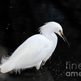 Susan Wiedmann - Young Snowy Egret