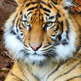 Margaret Saheed - Young Sumatran Tiger