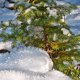 Roger Reeves  and Terrie Heslop - Young Winter Pine