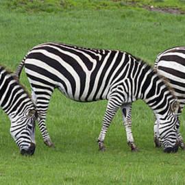 Chris Smith - Zebra