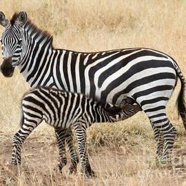 Chris Scroggins - Zebra Family