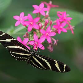 Juergen Roth - Zebra Heliconian Butterfly