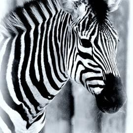 Kathleen Struckle - Zebra