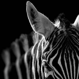 Lukas Holas - Portrait of Zebra in black and white
